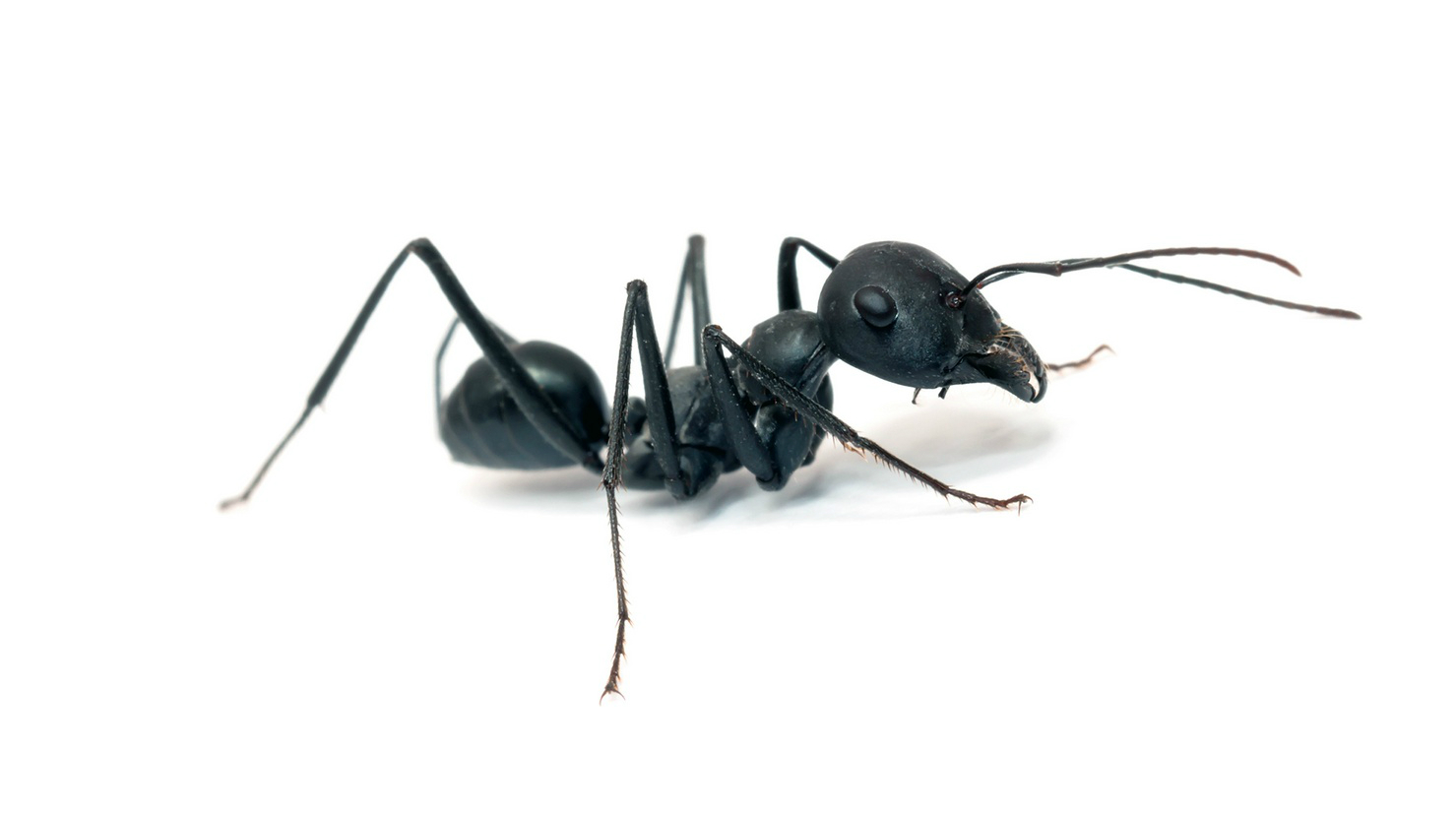 exterminate black ants in Longview