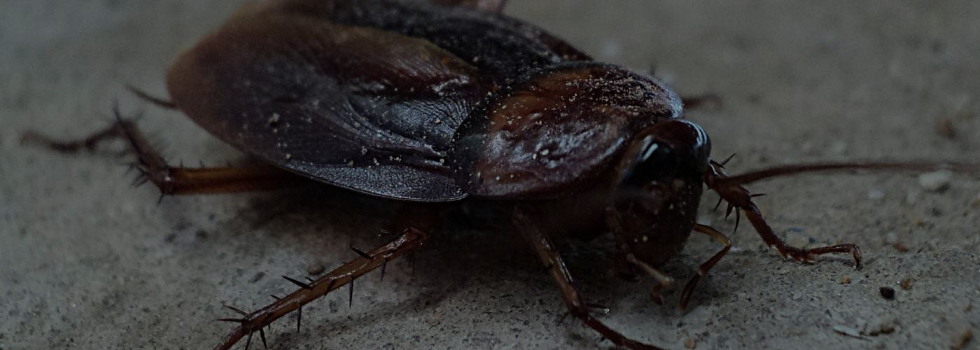 Eradicate Cockroaches from Your Home to Prevent These Diseases